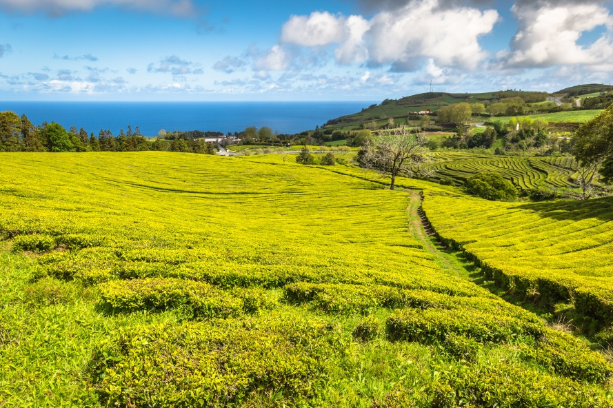 Tea plantation in Porto Formoso on the north coast of the island