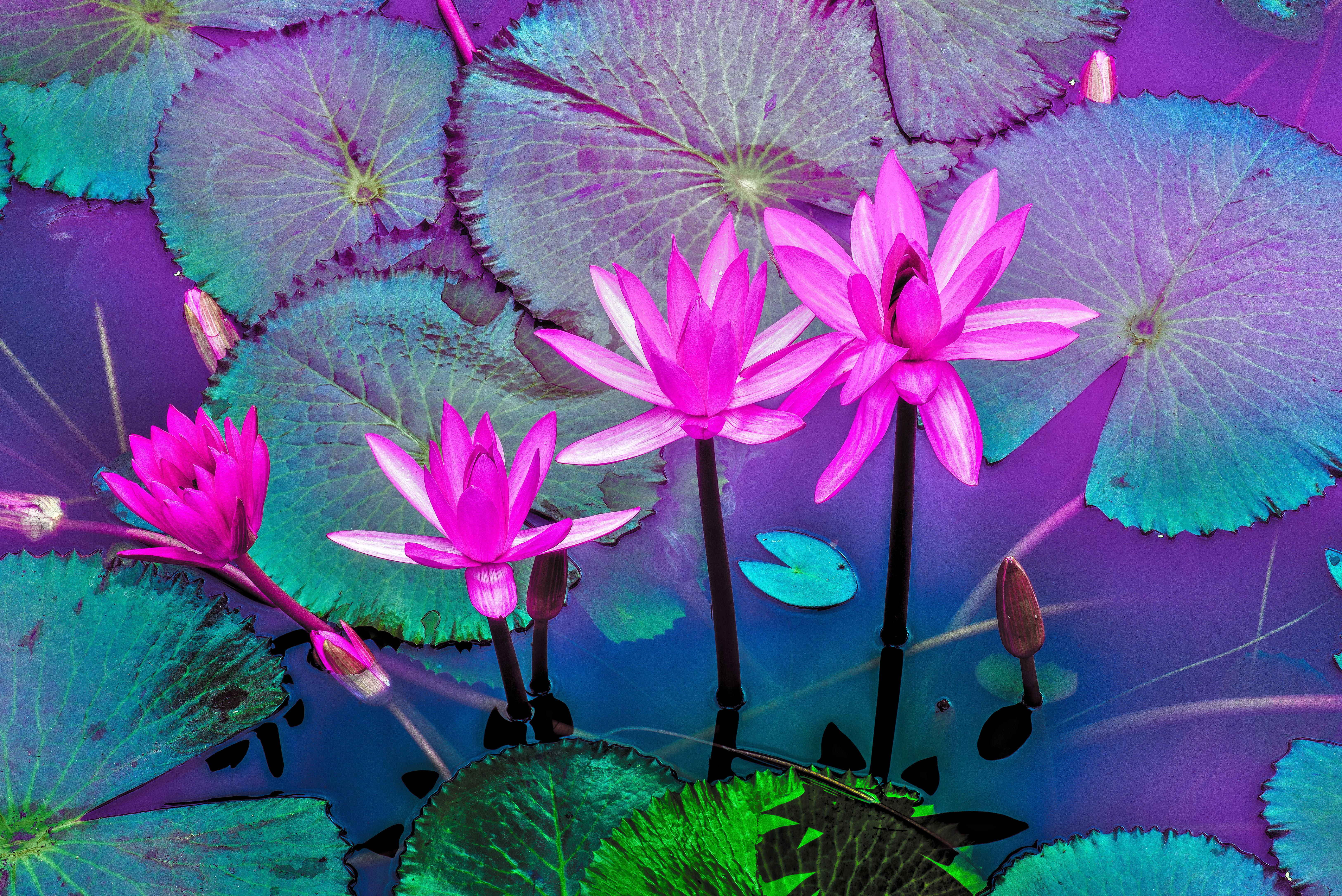 laos, luang prabang : pink water lilies