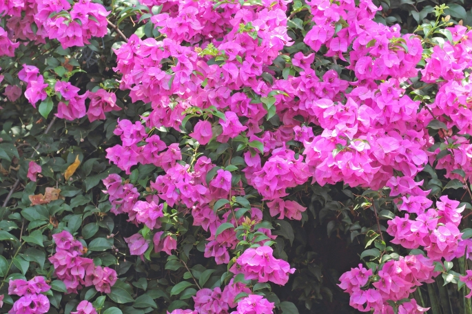flowers of bougainvillea , pink flower in the park