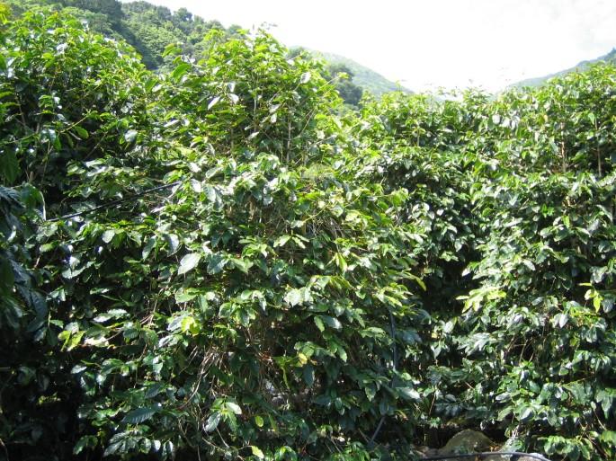 coffeeplasntssaojorge