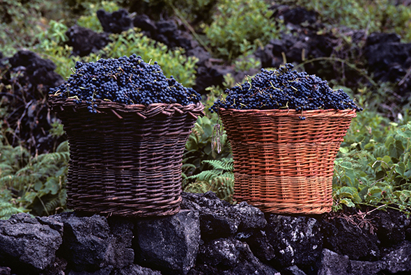 1344 36 Harvested grapes Pico Island Azores. Image shot 1985. Exact date unknown.