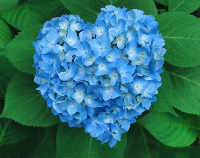 Heart-shaped Hydrangea
