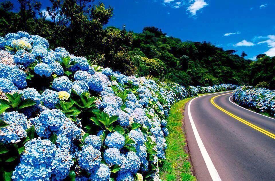 Azores Flowers Hydrangea