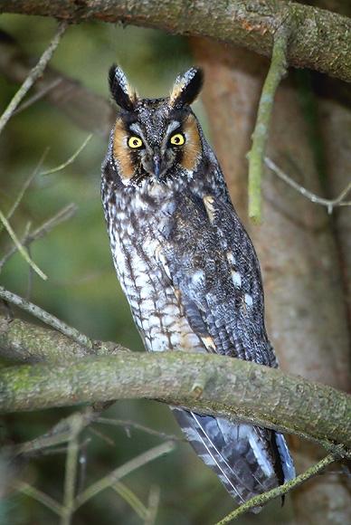owllong