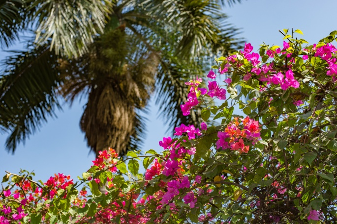 Palm tree and pink bougainvillea