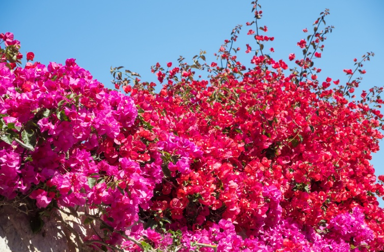 Bougainvillea in full bloom during the summer season