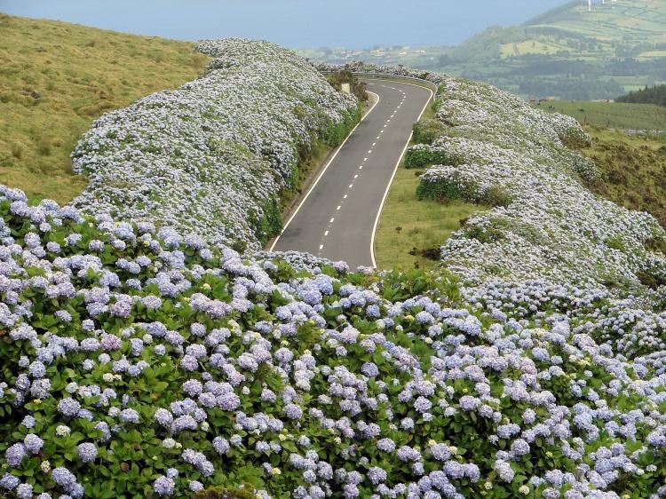 Azores Flowers